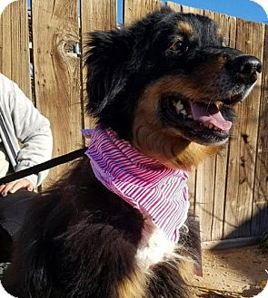 Australian Shepherd Dog for adoption in Apple Valley, California - Flossie- ADOPTED 4/2/17!