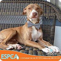 Adopt A Pet :: Skoda - Enid, OK