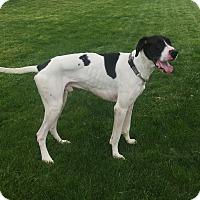 Adopt A Pet :: Beckham - St. Louis, MO