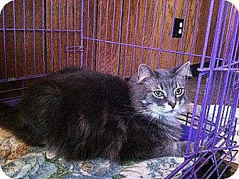 Domestic Longhair Cat for adoption in Jefferson, Ohio - Cody