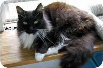 Domestic Longhair Cat for adoption in AUSTIN, Texas - Wolfgang von Puffytail