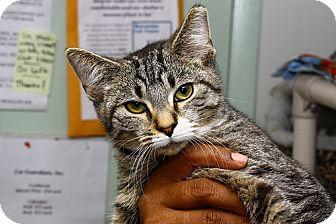 Domestic Shorthair Kitten for adoption in Lombard, Illinois - Verde