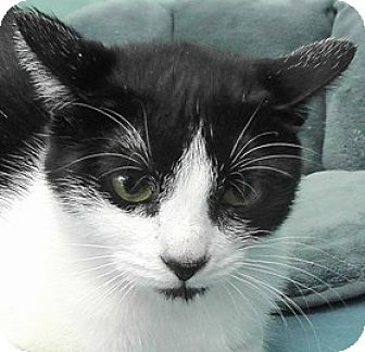 Domestic Shorthair Cat for adoption in Redondo Beach, California - Helen