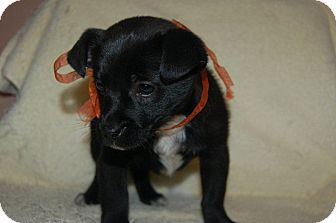 Dachshund/Poodle (Toy or Tea Cup) Mix Puppy for adoption in Hazard, Kentucky - Rocky