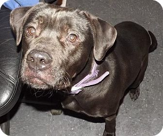 Rottweiler/Boxer Mix Dog for adoption in Clinton, Maine - Ian