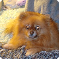 Adopt A Pet :: Ginger - Chandler, AZ