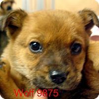 Adopt A Pet :: Wolf - Greencastle, NC