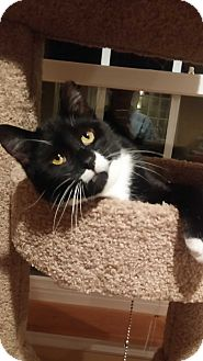 Domestic Shorthair Cat for adoption in Lenhartsville, Pennsylvania - Cho