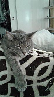 Domestic Shorthair Cat for adoption in Walnut Creek, California - Sweet Pea