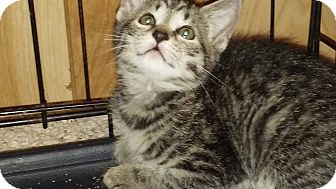 Domestic Shorthair Kitten for adoption in New Smyrna Beach, Florida - Winky