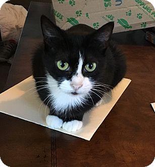 Domestic Shorthair Cat for adoption in Berkley, Michigan - Frannie