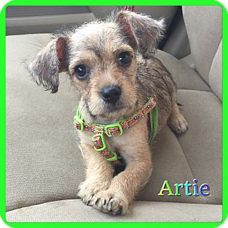 Schnauzer (Miniature)/Terrier (Unknown Type, Small) Mix Puppy for adoption in Hollywood, Florida - Artie