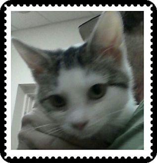 Domestic Shorthair Kitten for adoption in Trevose, Pennsylvania - Kit