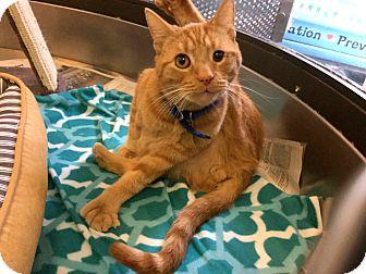 Domestic Shorthair Cat for adoption in Philadelphia, Pennsylvania - One-Eyed Willie