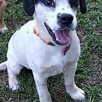 Adopt A Pet :: Banjo - Duluth, GA