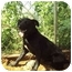 Photo 2 - Labrador Retriever/Cocker Spaniel Mix Dog for adoption in Anton, Texas - Max