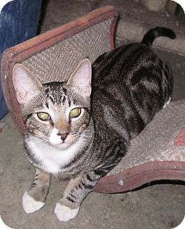 Domestic Shorthair Cat for adoption in Winchester, California - Fuji