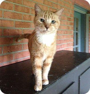 Domestic Shorthair Cat for adoption in Troy, Ohio - Corrine