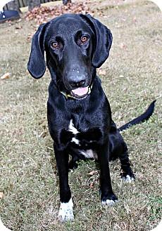 Labrador Retriever/Hound (Unknown Type) Mix Dog for adoption in Marietta, Georgia - Magpie