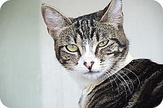 Domestic Shorthair Cat for adoption in Seal Beach, California - Miss Pudding