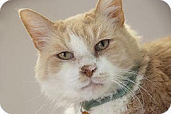 Domestic Mediumhair Cat for adoption in Seal Beach, California - Roger