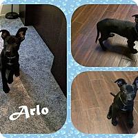 Adopt A Pet :: Arlo - DOVER, OH