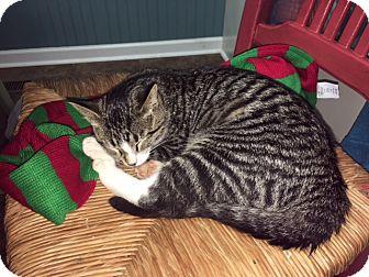 Domestic Shorthair Cat for adoption in Homewood, Alabama - George M