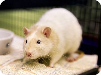 Rat for adoption in Germantown, Ohio - Egon and Tully