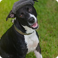 Labrador Retriever/Border Collie Mix Dog for adoption in Lake Jackson, Texas - Winston
