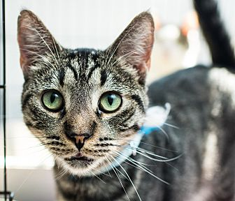 Domestic Shorthair Cat for adoption in Los Angeles, California - Pedro