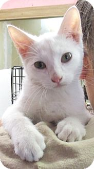 Domestic Shorthair Kitten for adoption in Reeds Spring, Missouri - Ice