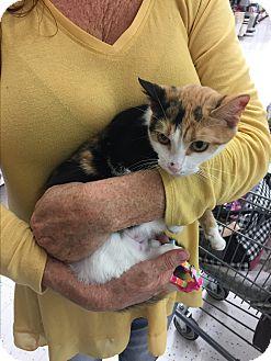 Calico Cat for adoption in Glendale, Arizona - MABEL
