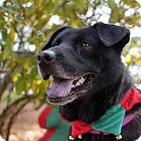 Labrador Retriever Mix Dog for adoption in Summerville, South Carolina - Nikki