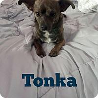 Adopt A Pet :: TONKA 2 YEAR CHIHUAHUA - Mesa, AZ