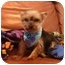 Photo 1 - Yorkie, Yorkshire Terrier Mix Puppy for adoption in Tallahassee, Florida - Charlie