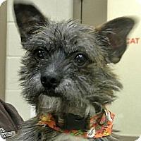 Adopt A Pet :: Toto - white settlment, TX
