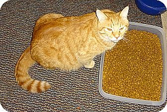 Domestic Shorthair Kitten for adoption in Saint Albans, West Virginia - Morris