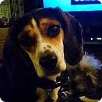 Adopt A Pet :: Brownie - Richmond, VA