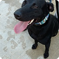 Adopt A Pet :: Savannah-adoption pending - Hanna City, IL