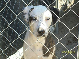 Great Dane/Hound (Unknown Type) Mix Dog for adoption in Mexia, Texas - Dutchess