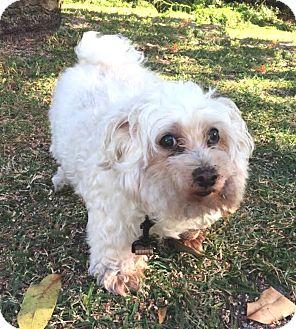 Maltese Mix Dog for adoption in Boca Raton, Florida - Lucky