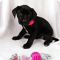Adopt A Pet :: Abigail - Newark, DE