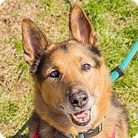 German Shepherd Dog Mix Dog for adoption in Baltimore, Maryland - Uncle Buck