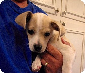 Jack Russell Terrier/Beagle Mix Puppy for adoption in Westwood, New Jersey - Paco
