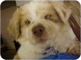 Australian Shepherd Mix Puppy for adoption in Mesa, Arizona - Teagan