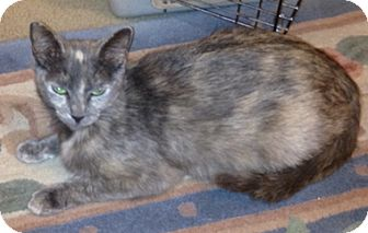 Domestic Shorthair Cat for adoption in North Highlands, California - Dolores