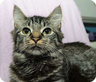 Domestic Mediumhair Cat for adoption in New York, New York - Murphy