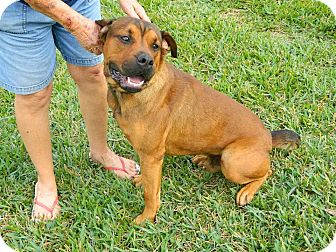 Rottweiler Mix Dog for adoption in hollywood, Florida - Louie