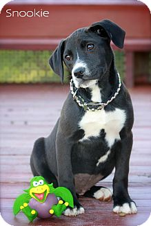 Labrador Retriever/Hound (Unknown Type) Mix Puppy for adoption in Wilmington, Delaware - Snookie