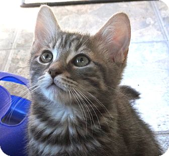Domestic Shorthair Kitten for adoption in Escondido, California - Gismo